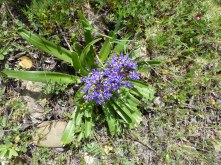 "Scilla peruviana, a native with flower of about 4""across"