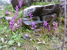 Southern early purple orchid, a rare patch